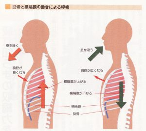 肋間筋 呼気・吸気の変化